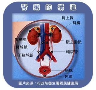 腎臟的構造